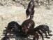 RC Škorpión, čierna