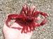 RC Škorpión, červená
